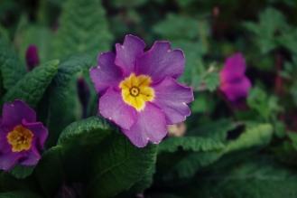 Purple Primrose - February 2017 - ©NinaMcIntyre