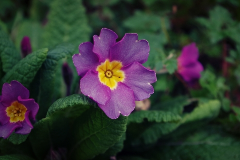 Purple Primrose - February 2017 - ©NinaMcIntyre