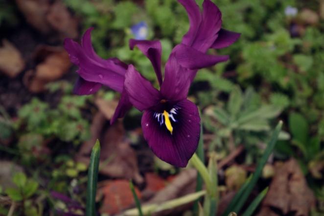 Iris - February 2017 - ©NinaMcIntyre