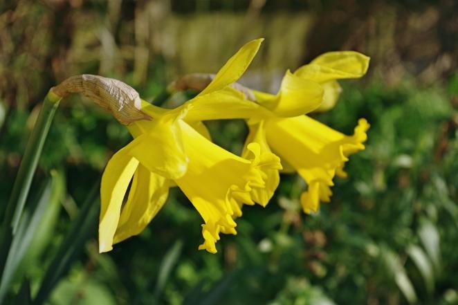 Daffodils I - March 2017 - ©NinaMcIntyre