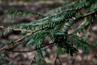 Yew Leaves - March 2017 - ©NinaMcIntyre