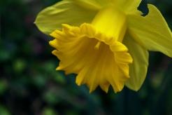 Daffodil - March 2017 - ©NinaMcIntyre