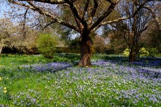 Bluebell Meadow - March 2017 - ©NinaMcIntyre