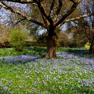 Bluebell Meadow - March 2017 - ©NinaMcIntyre