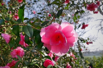 Pink Camelia - March 2017 -