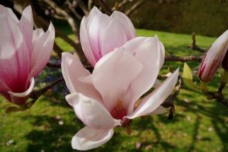 Magnolia in Bloom - March 2017 - ©NinaMcIntyre