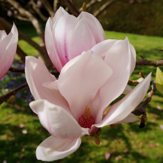 Magnolia in Bloom - March 2017 - ©NinaMcIntyre